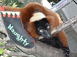 Red-Ruffed Lemur has the holiday spirit (c) Palm Beach Zoo