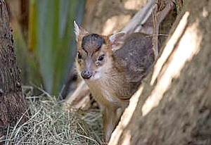 Be one of the first visitors to see three new babies - including a baby Chinese muntjac- at the Palm Beach Zoo during a special event, Super Baby Saturday, on January 26 (photo courtesy Palm Beach Zoo).