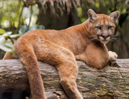 Palm Beach Zoo lost its only Florida panther with the passing of Colin Patrick last March. The two cats you currently see in the Florida wetlands exhibit, Washington and Idaho, are western cougars.