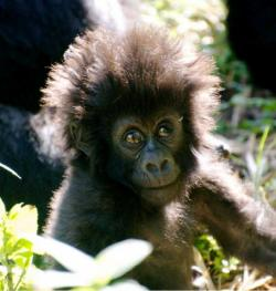 "Rwanda will celebrate the birth of baby gorillas through ""Kwita Izina,"" the annual naming ceremony in Kinigi, Musanze, on June 22, 2013. This and other events will be  open to visitors."