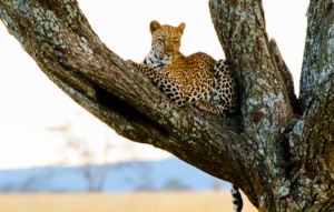 The Four Seasons Safari Lodge, Serengeti, as a supporter of The Cheetah Watch Campaign run by the Serengeti Cheetah Project and the Tanzania Wildlife Research Institute enables its guests to participate in this important project.