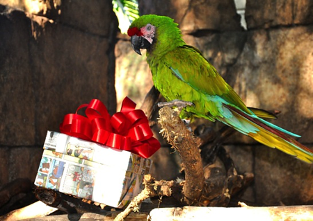 "Patton, a military macaw, enjoys a gift wrapped with recycled newspaper at the Palm Beach Zoo, which is hosting an""Eco-Friendly Holiday"" series."