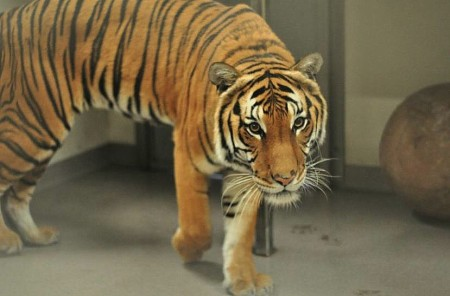 """Bumi, a four-year-old male Malayan tiger whose name means """"earth"""" in Indonesian, joined the Palm Beach Zoo as its newest resident on December 10, 2014, bringing the number of adult tigers at the Zoo to four for the first time."""